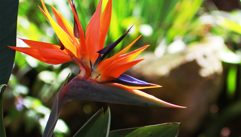 A bird of paradise flower on a lush green background